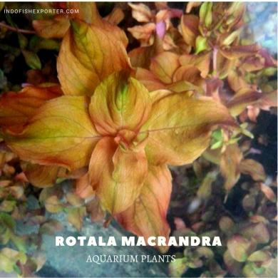 Rotala Macrandra plants, aquarium plants, live aquarium plants