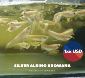 Albino Silver Arowana