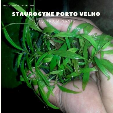 Staurogyne Porto Velho plants, aquarium plants, live aquarium plants