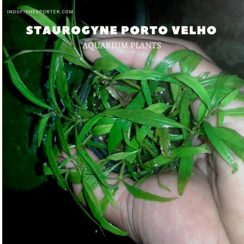 Staurogyne Porto Velho plants