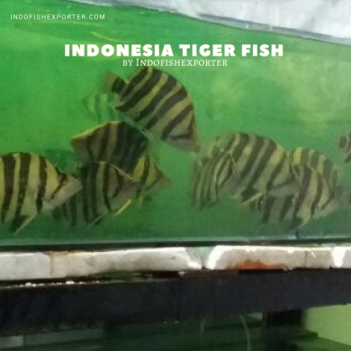 tropical fish indonesia, tiger fish, datnioides, aquarium fish indonesia, ornamental fish indonesia