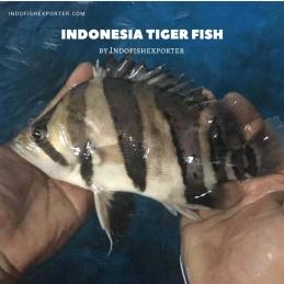 tropical fish indonesia, tiger fish, datnioides, aquarium fish indonesia, ornamental fish indonesia