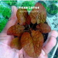 Tiger Lotus plants, aquarium plants, live aquarium plants