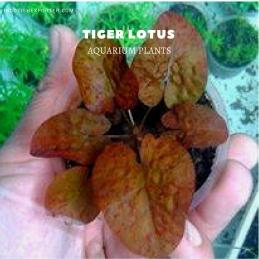 Tiger Lotus plants, aquarium plants, live aquarium plants