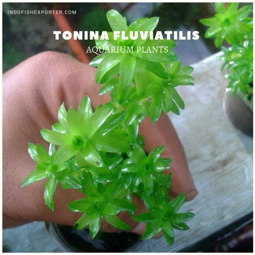 Tonina Fluviatilis plants, aquarium plants, live aquarium plants