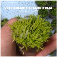Ultricularia Graminifolia plants, aquarium plants, live aquarium plants
