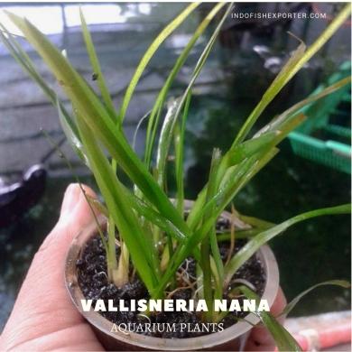 Vallisneria Nana plants, aquarium plants, live aquarium plants