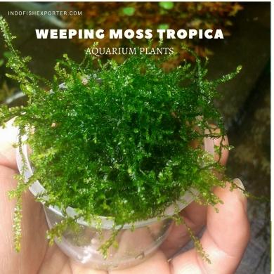 Weeping Moss Tropica plants aquarium plants, live aquarium plants