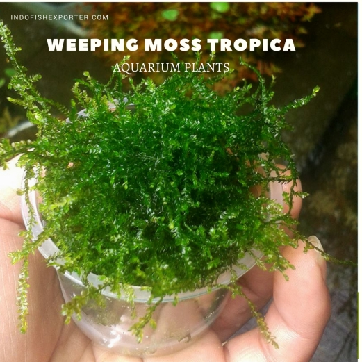 Weeping Moss Tropica plants aquarium plants, live aquarium plants