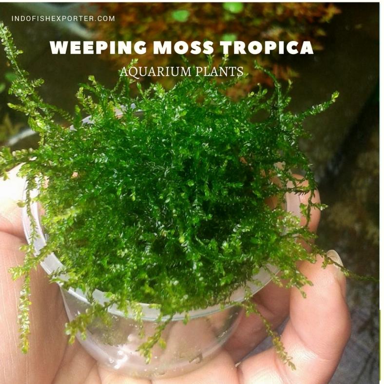 Weeping Moss Tropica plants