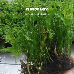 Windelov plants, aquarium plants, live aquarium plants