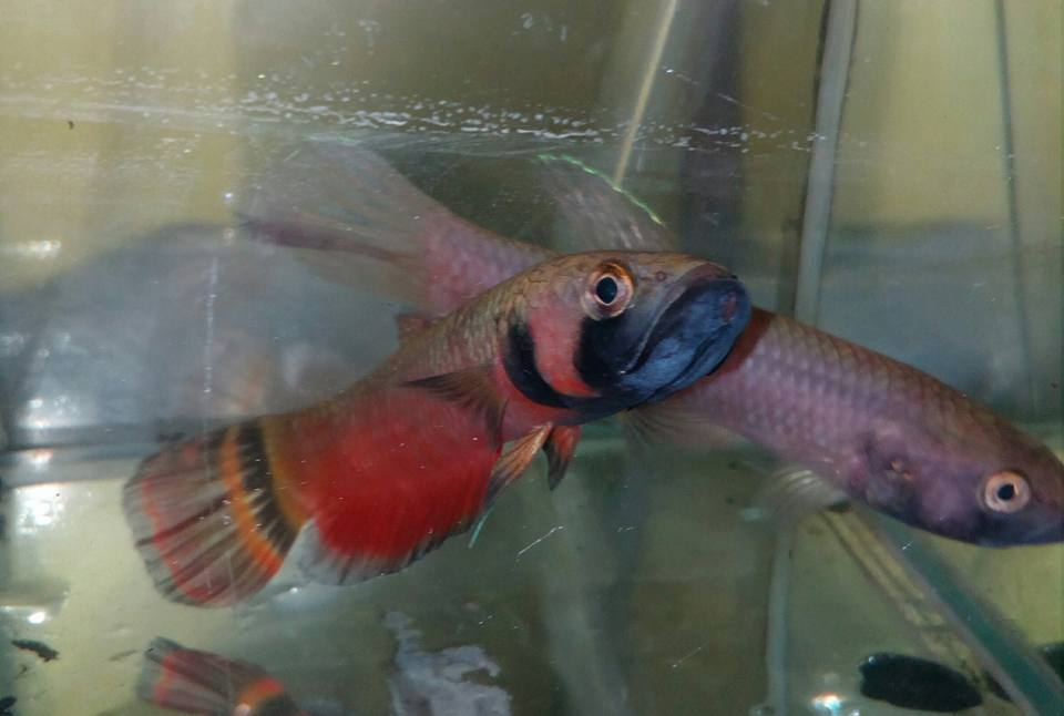 Betta Macrostoma (Wild Caught) | WHOLESALE INDONESIA TROPICAL FISH