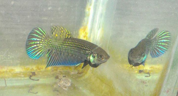 Bettas wholesale indonesia tropical fish aquarium fish for Tropical fish wholesale