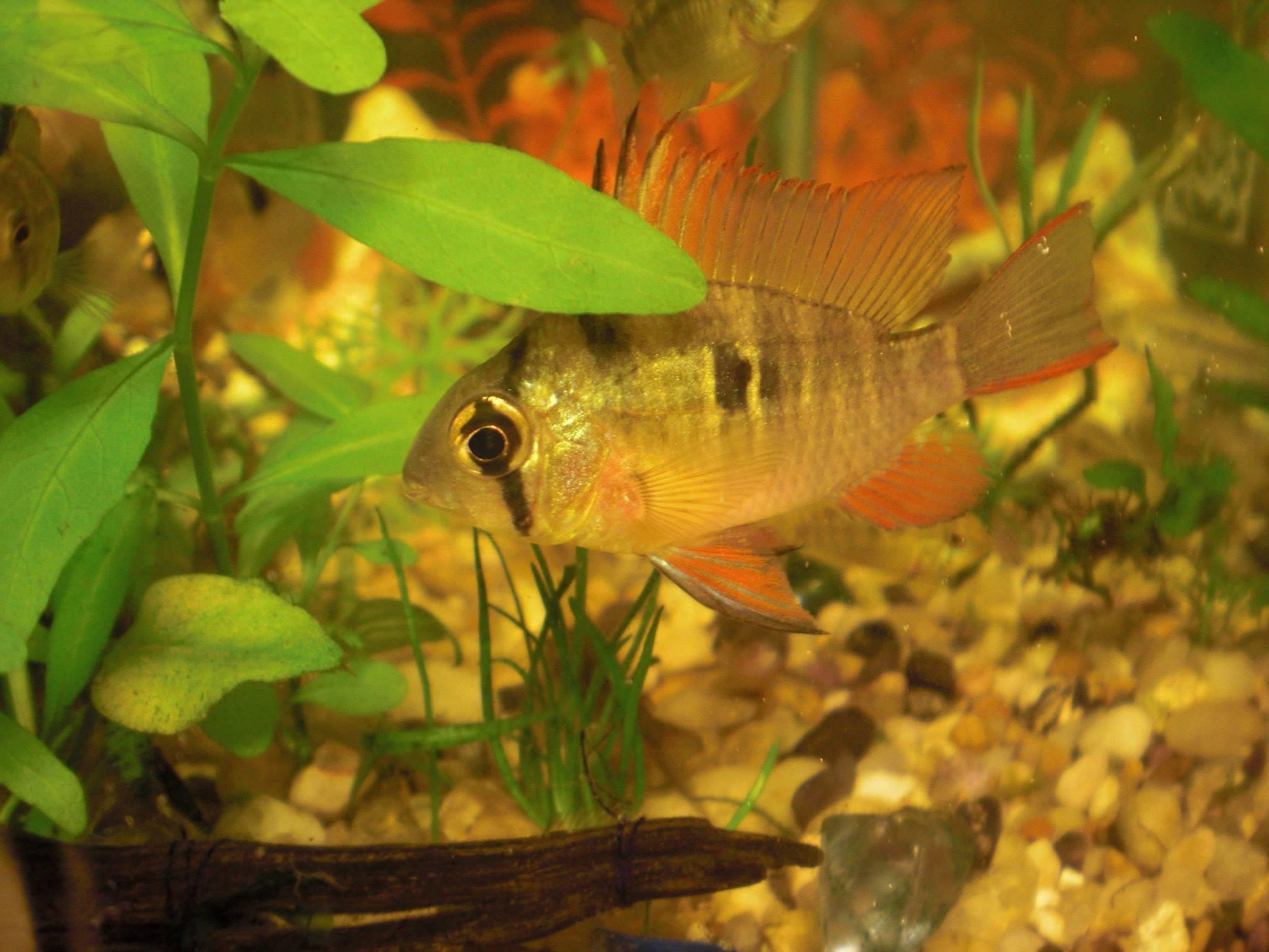 Bolivian ram 3 wholesale indonesia tropical fish for Rare aquarium fish