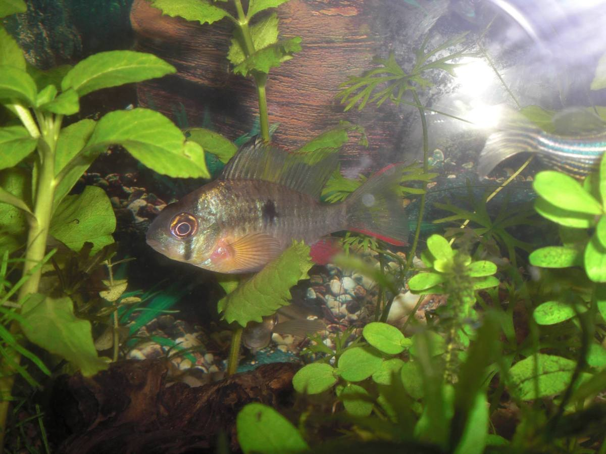 Bolivian ram 5 wholesale indonesia tropical fish for Rare freshwater aquarium fish