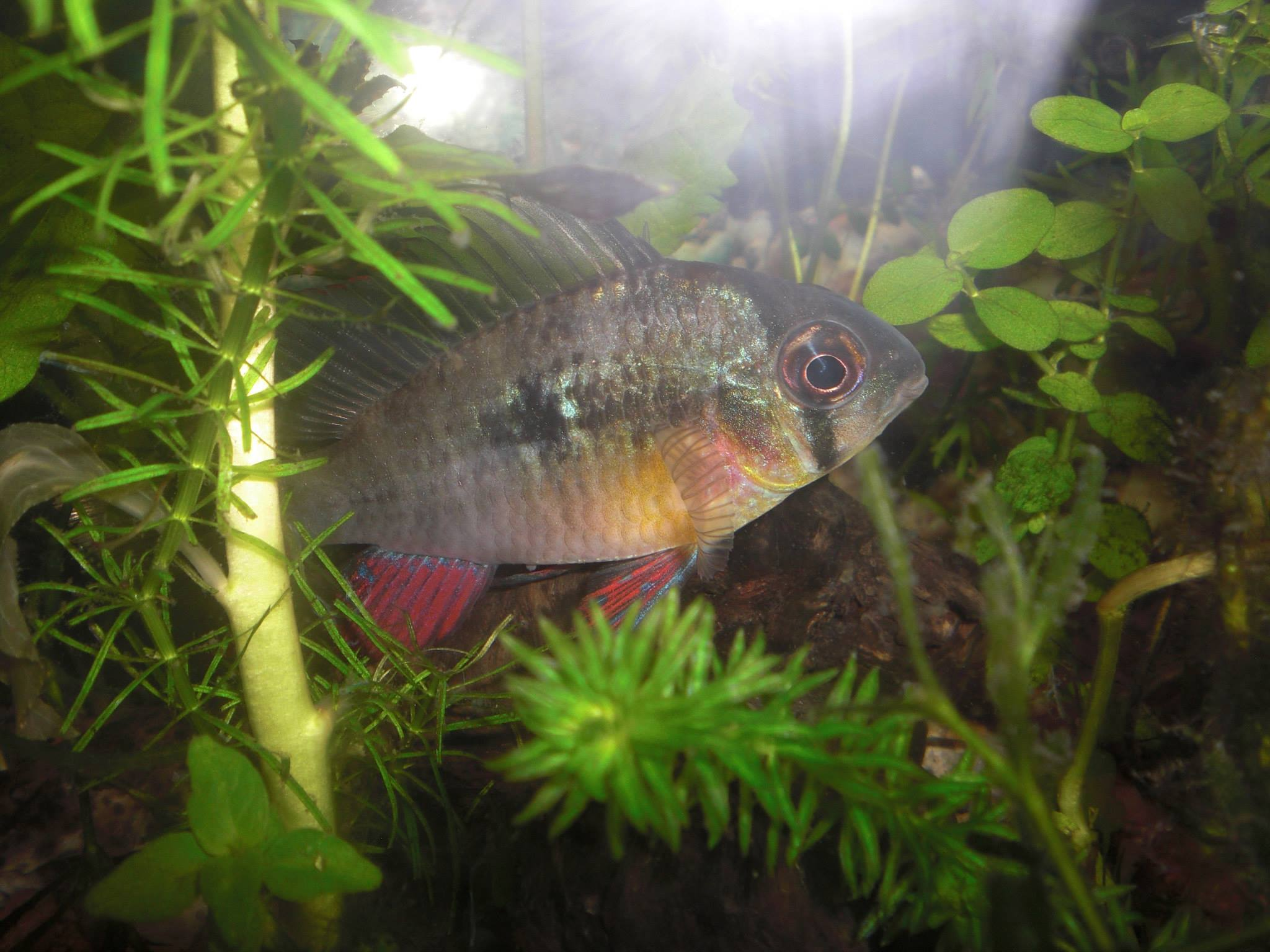 Bolivian ram wholesale indonesia tropical fish for Wholesale tropical fish