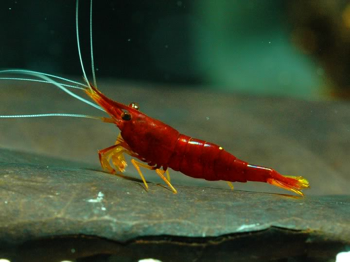 Yellow nose sulawesi shrimp wholesale indonesia for Rare freshwater aquarium fish